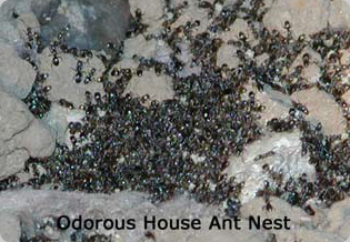 Odorous House Ant colony